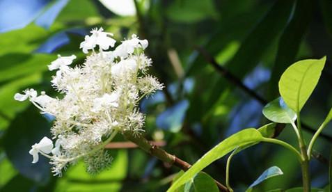 Hydrangea seemannii 1.jpg