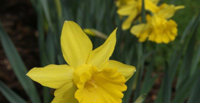 Narcissus spp. 3.jpg
