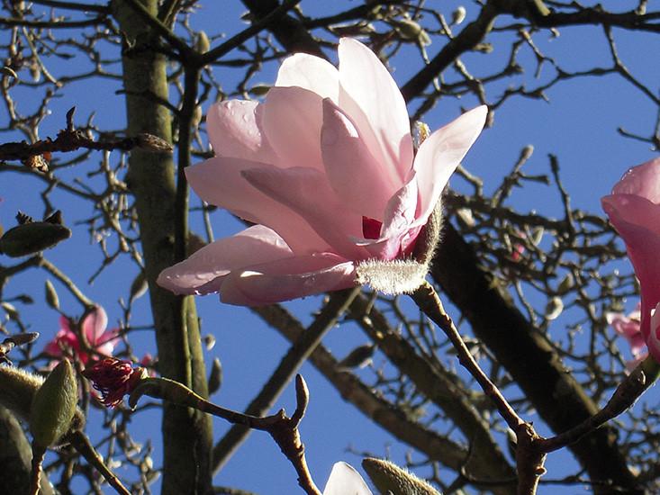 Magnolia-dawsoniana-DKP-3.jpg