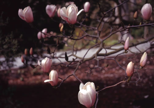 Magnolia x veitchii 1.jpg