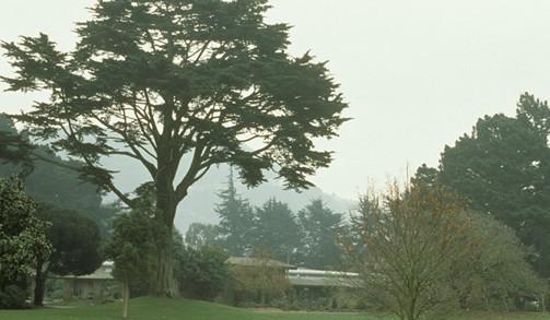 Cupressus macrocarpa 4.jpg