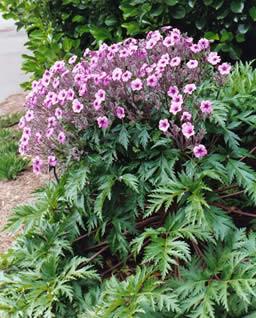 Geranium maderense 3.jpg