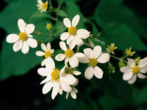 Montanoa spp. 1.jpg