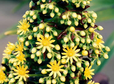 Aeonium arboreum 2.jpg
