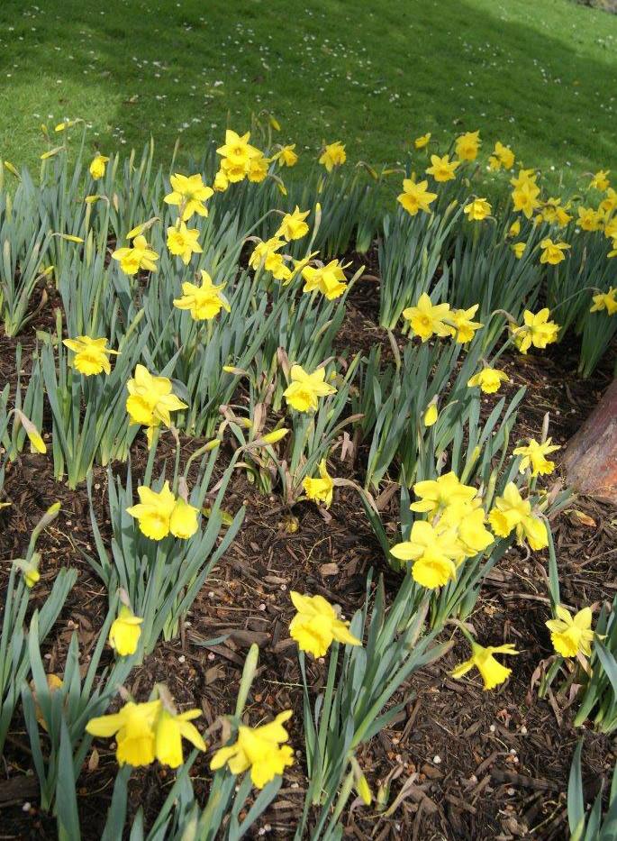 Narcissus spp. 2.jpg