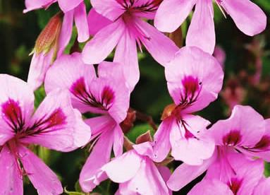 Pelargonium 4.jpg