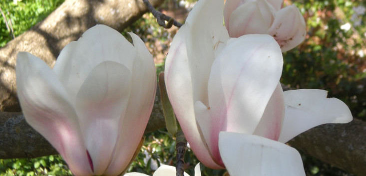 Magnolia x veitchii 4.jpg