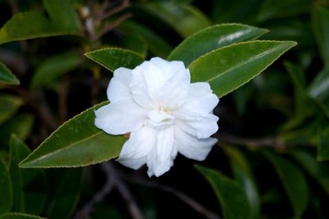 Camellia spp. 3.jpg
