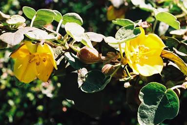 Fremontodendron californicum 2.jpg