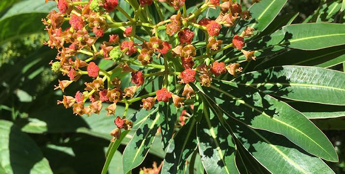 Euphorbia mellifera 1.jpg