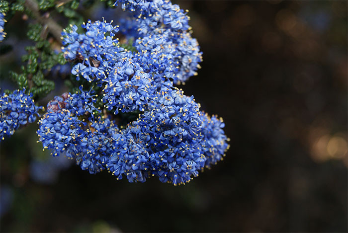 Ceanothus spp. 1.jpg