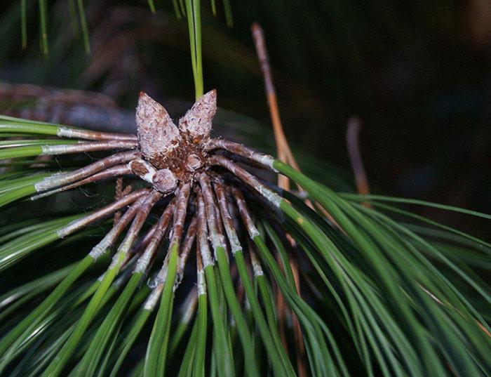 Pinus apulcensis 2.jpg
