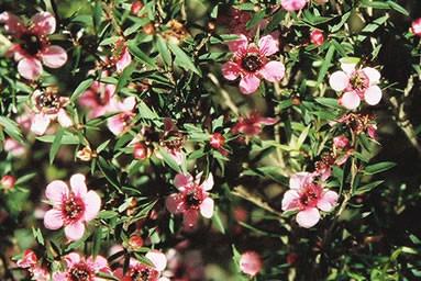 Leptospermum 2.jpg