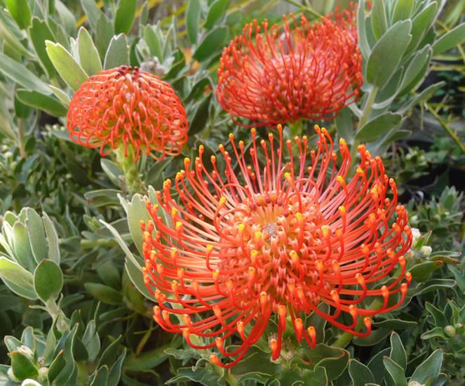 Leucospermum spp. 3.jpg