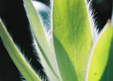 Leucadendron argenteum 2.jpg