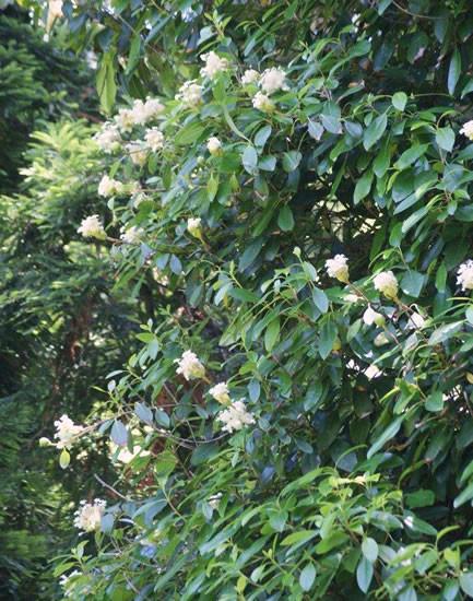Hydrangea seemannii 3.jpg
