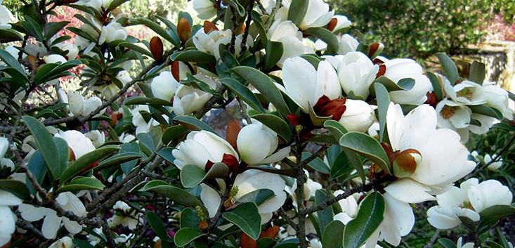 Magnolia_laevifolia'Strybing_Compact'_3