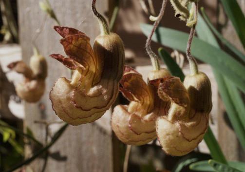Aristolochia californica 1.jpg