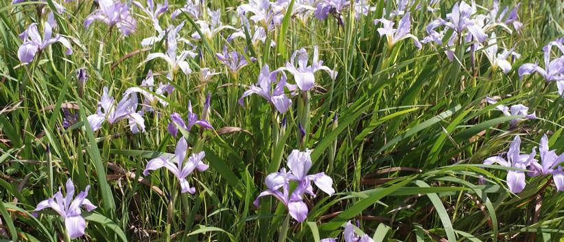 Iris douglasiana 3.jpg