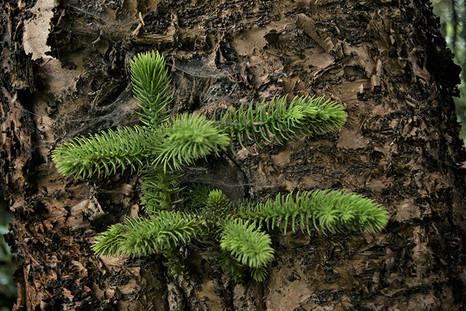 Araucaria heterophylla 2.jpg