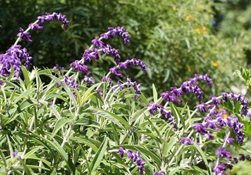 Salvia leucantha 1.jpg