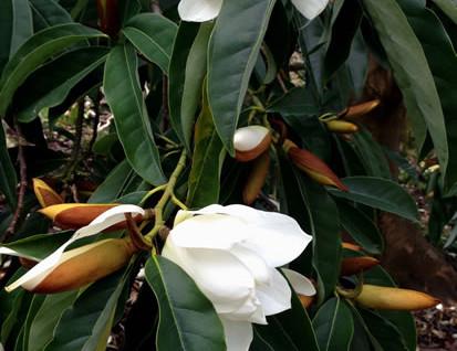 Magnolia doltsopa 3.jpg