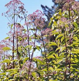 Eupatorium purpureum 2.jpg