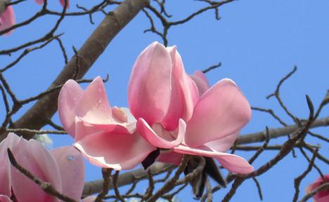 Magnolia campbellii 3.jpg