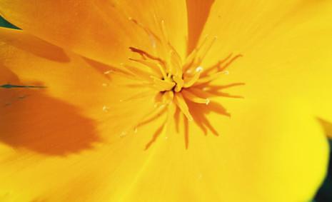 Eschscholzia californica 4.jpg