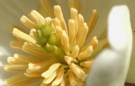 Magnolia laevifolia 4.jpg