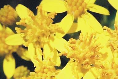 Telanthophora grandifolia 1.jpg