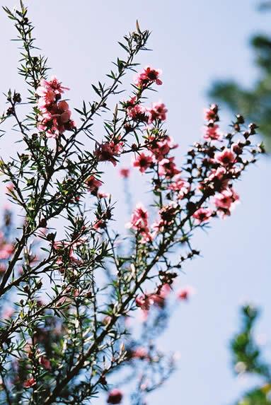 Leptospermum 4.jpg
