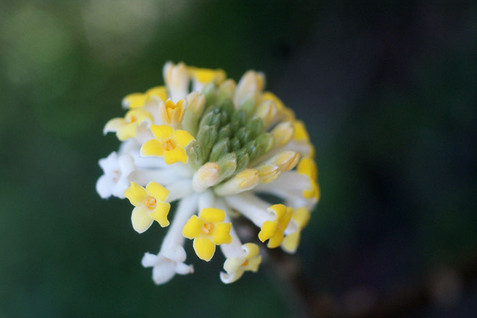 Edgeworthia chrysantha 1.jpg