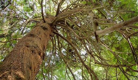 Sequoia sempervirens 2.jpg