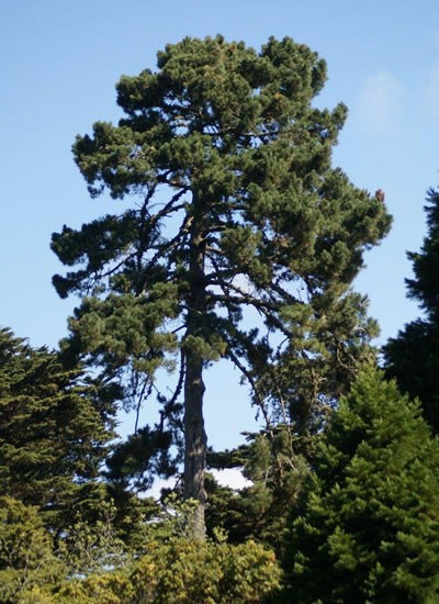Pinus radiata 3.jpg