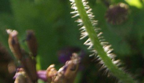 Papaver rhoeas 4.jpg