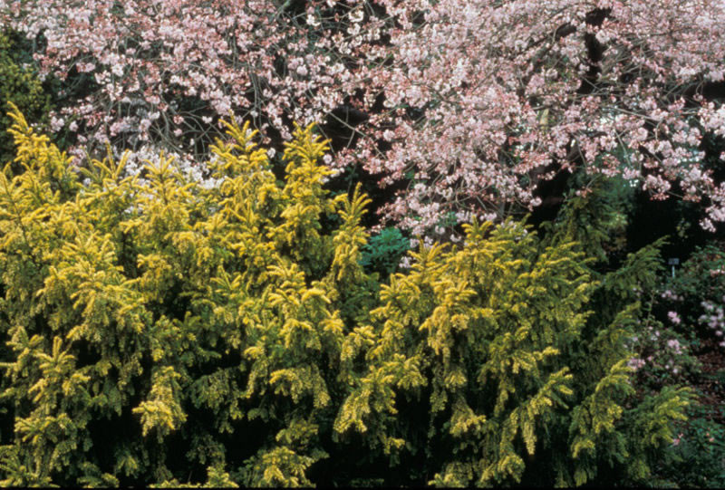 Taxus baccata 4.jpg