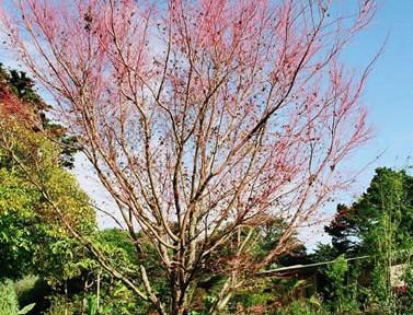 Acer palmatum 3.jpg