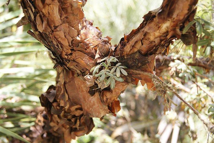 Polylepis spp. 3.jpg
