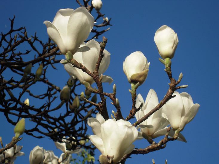 Magnolia denudata 2.jpg