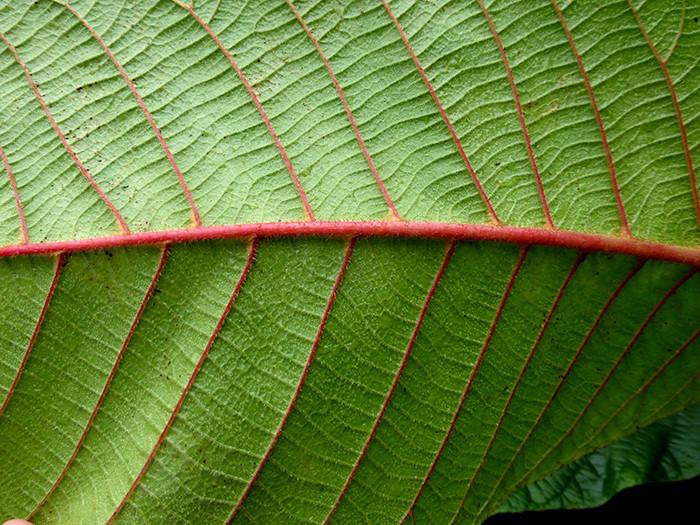 Saurauia madrensis 3.jpg