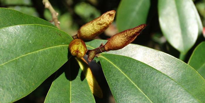 Magnolia laevifolia 2.jpg