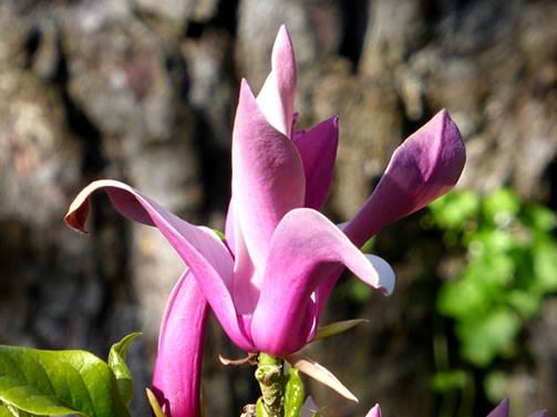 Magnolia liliiflora 1.jpg