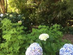 Hydrandeas in bloom