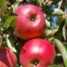 Apples_3.jpg