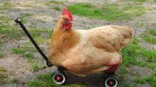 A galinha brasileira