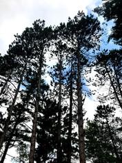 Swaying Birch Trees