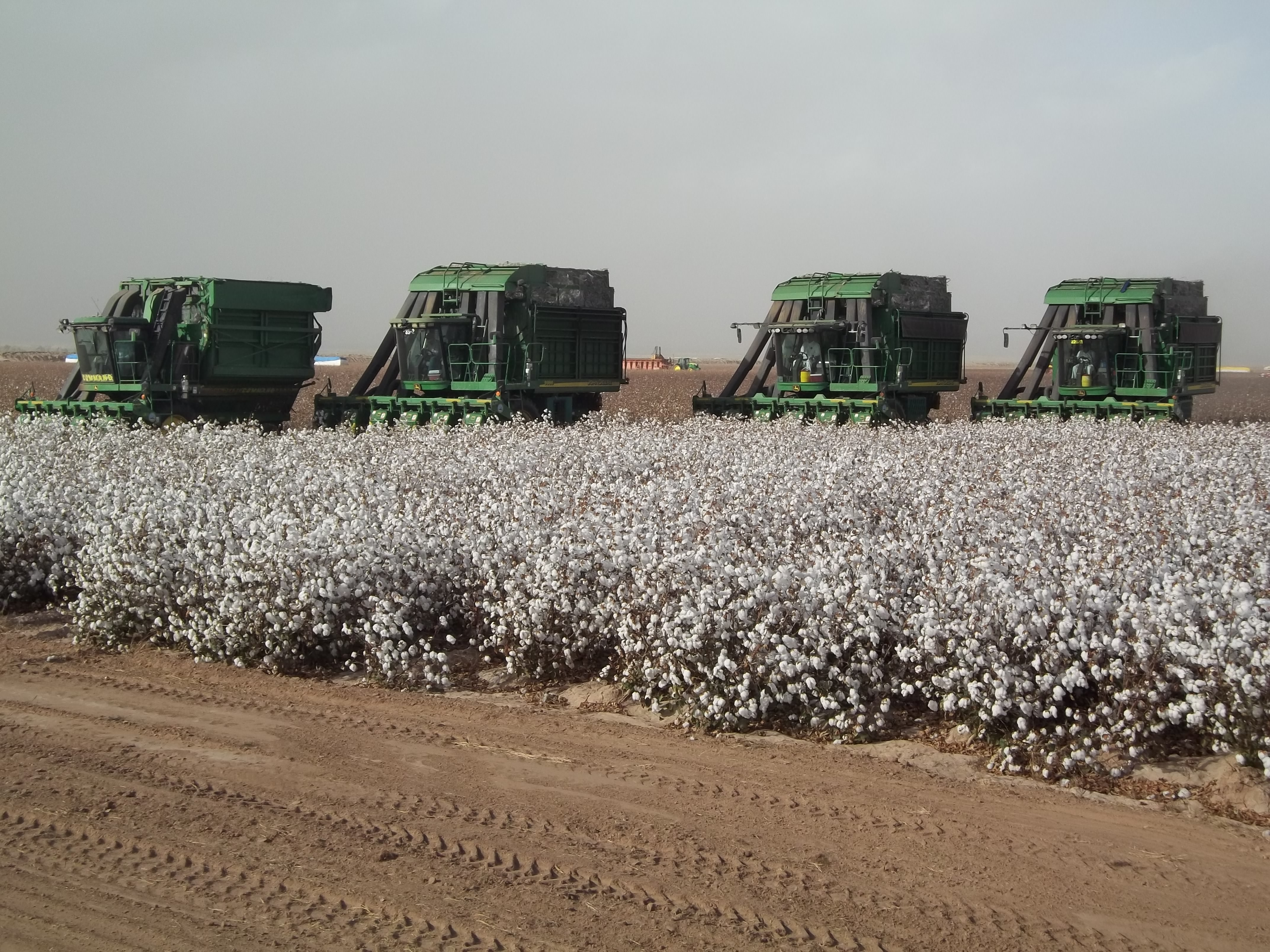 Cotton Harvest, Poston Valley, Rudy Palma PCA