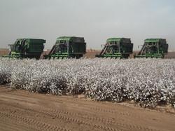 Cotton Harvest, Poston Valley, Rudy Palma PCA