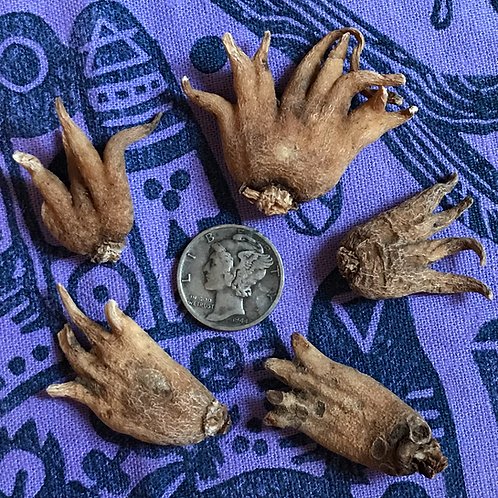 Lucky Hand Root- Luck, Success, Money, Business, Protection, Love